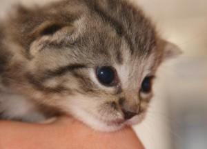 Babykatze Kopf
