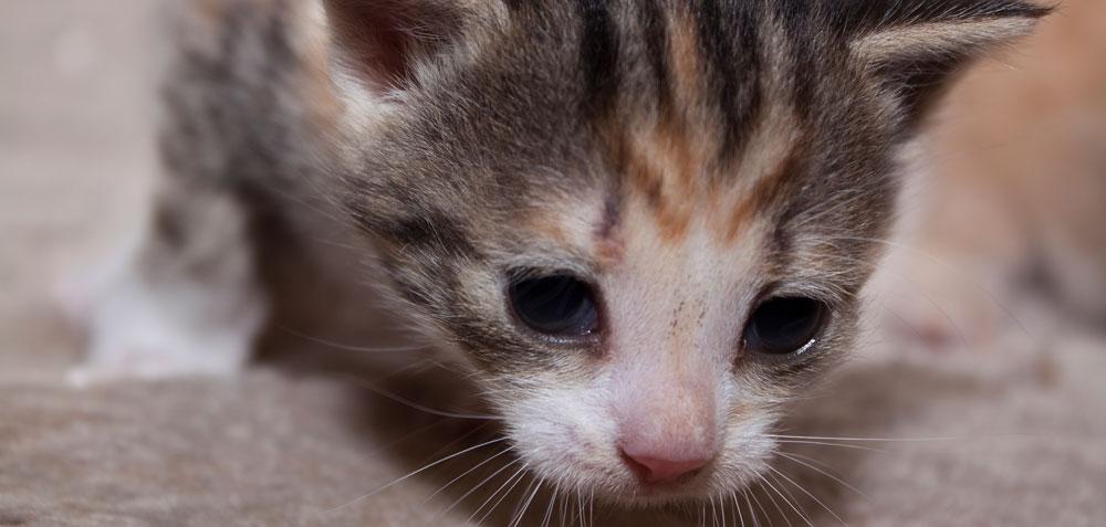 Junge Katzen sind sehr neugierig (Foto: Madleen Perlitz / pixelio.de)